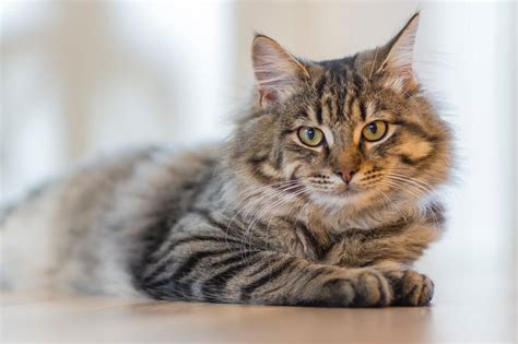 cat symptoms sneezing colds treatments why