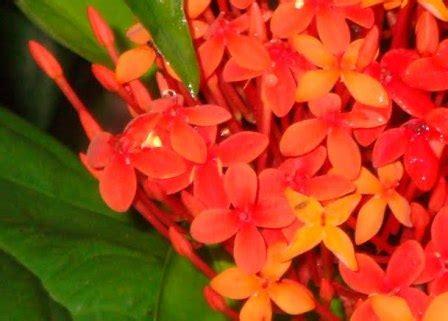 manfaat khasiat tanaman bunga asoka bagi kesehatan