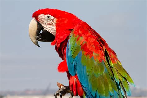 macaw lifespan green wing macaw facts pet care housing behavior pictures singing wings aviary