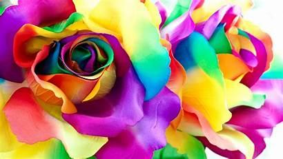 Roses Rainbow Multicolor Flowers Petals Closeup