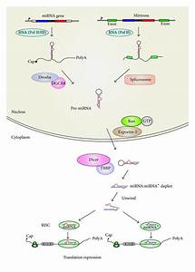 Biogenesis Of Canonical And Mirtron Mirnas In Animal Cells