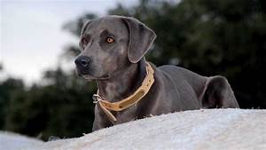 Blue Lacy - Information, Characteristics, Facts, Names