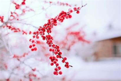 Berries Winter Background Tree Branch Wallpapersafari Bokeh