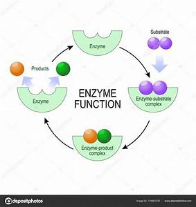 Diagram Of Enzyme And Substrate
