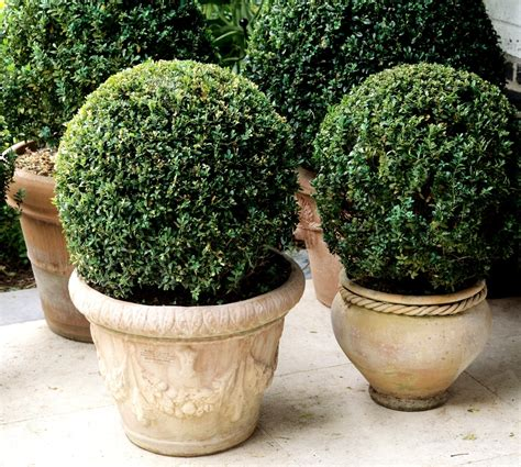 buis planter et tailler ooreka