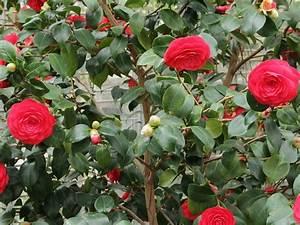 Camellia Japonica Winterhart : camellia japonica for sale mulch masters jacksonville fl ~ Eleganceandgraceweddings.com Haus und Dekorationen