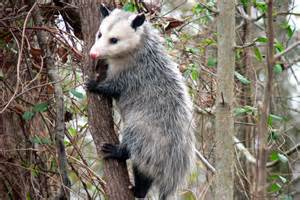 opossum design opossum removal opossum opossum trapping and relocation fort myers florida