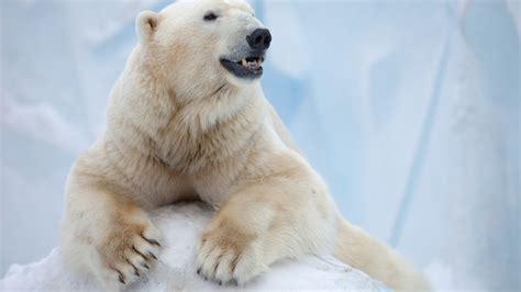 wallpaper polar bear antarctica bear animals