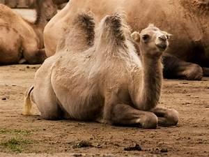 Course De Chameau : les chameaux mamiferes ~ Medecine-chirurgie-esthetiques.com Avis de Voitures