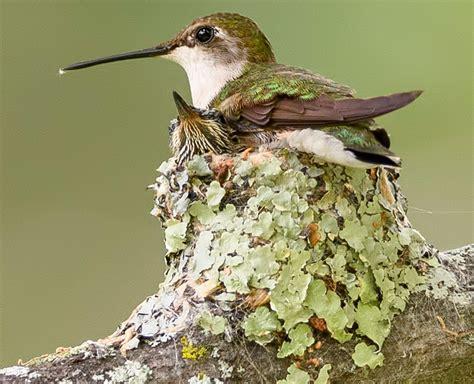Hummingbird Nests: 7 Fun Facts You Should Know (2021) - Bird Watching HQ