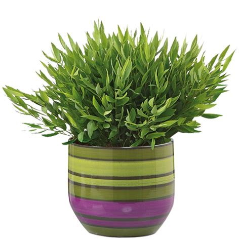 in door plants pot three four plants argements scheurich 13 x 14cm 820 lines glazed indoor pot bunnings warehouse