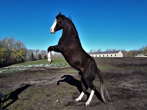 quarter horse roscoe horses tanya lakeland hesa gunner aka