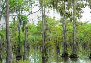 Louisiana Swamp Photograph by Ester Rogers