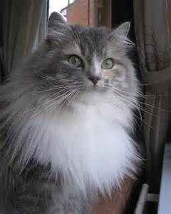 ragamuffin cat ragamuffin cats ragamuffin kittens shrewsbury