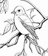 Coloring Bird Pages Burgess Adult Sheets Animal Colouring Printable Adults Books Drawings Illustration sketch template