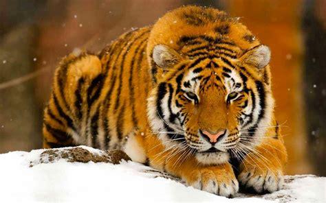 Image Tigre Des Neiges Tigres Felin Felins