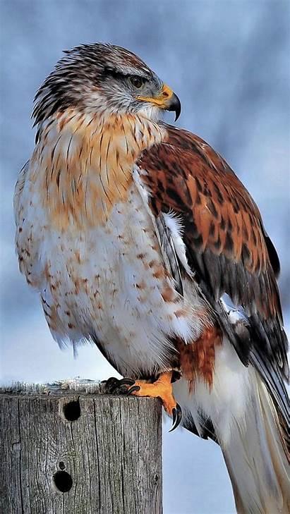 4k Hawk Snow Winter Bird Ultra Ferruginous