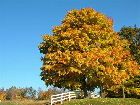 best maple trees for fall color the garden plot 10 best trees for brilliant fall color