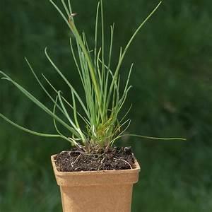 Allium Pflanzen Im Frühjahr : allium schoenoprasum pflanze im topf schnittlauch hof berg garten ~ Yasmunasinghe.com Haus und Dekorationen