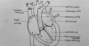 Draw It Neat   How To Draw Internal Structure Of Human Heart