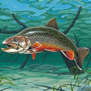 brook trout information facts pictures american expedition