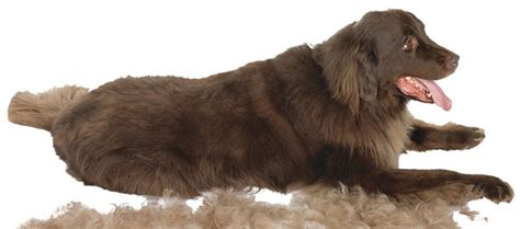 Home Remedies For Shedding Dogs by Simple Inexpensive Shedding Home Remedies