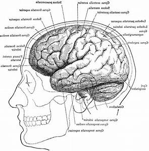 Human Brain Anatomy Diagram