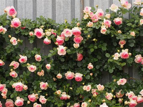 when to trim climbing roses how to prune climbing roses