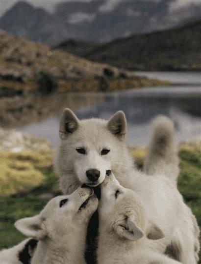 Husky Dog Gifs Huskies Wolf Animated Alaskan