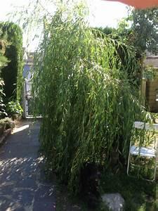 Taille Du Saule Pleureur : saule bonsai page 2 ~ Melissatoandfro.com Idées de Décoration