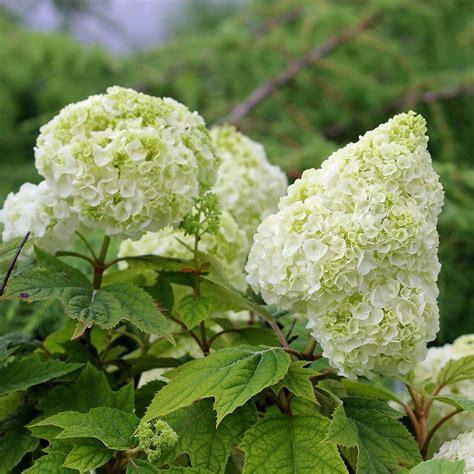white flower varieties new hydrangea varieties white flower farm
