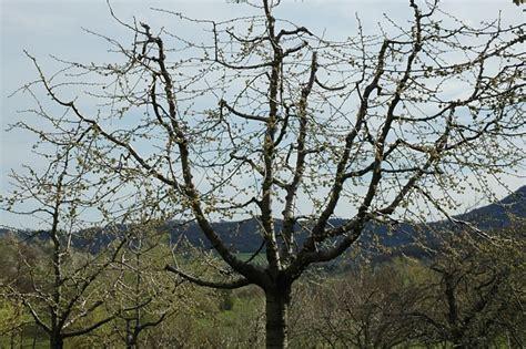 alte kirschbäume schneiden alten kirschbaum schneiden kirschbaum schneiden 4
