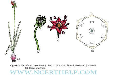 morphology  flowering plants class  notes