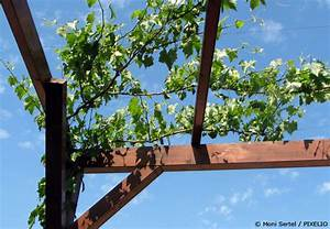 Pflanzen Für Pergola : weinreben pflanzen s e trauben aus dem eigenen garten garten hausxxl garten hausxxl ~ Sanjose-hotels-ca.com Haus und Dekorationen