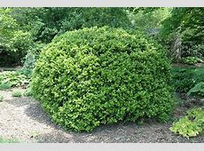 Japanese Boxwood Buxus microphylla 'var japonica' in