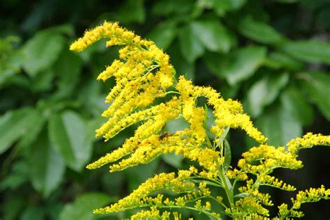 golden rod herbal extract company s goldenrod supplement sources