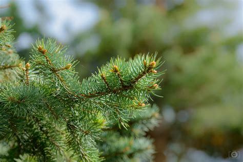 pine branch background high quality  backgrounds