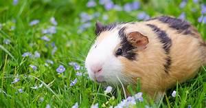 Comment Bien Choisir Son Cochon D U0026 39 Inde