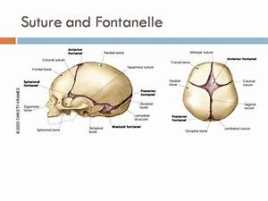 Suture And Fontanelle