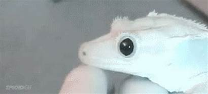 Gecko Pupils Contract Dilate Pupil Satisfying Watching