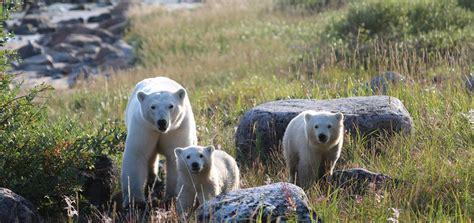 birds bears belugas polar bear tours churchill wild