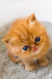 Cute Orange Kittens With Blue Eyes « Search Results ...