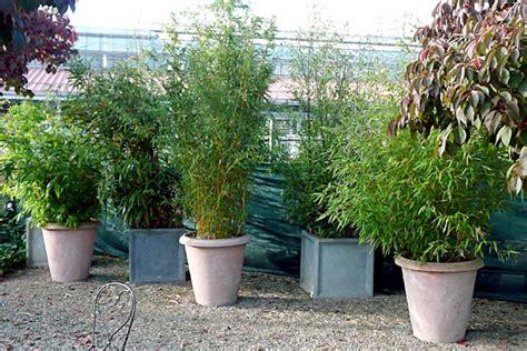 bambus als kuebelpflanze hauenstein rafz