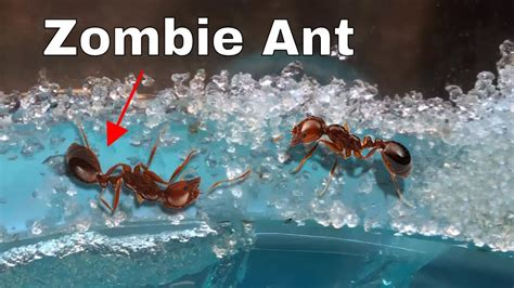 ant zombie dead think