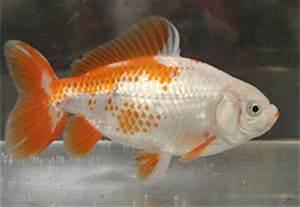 Japanese Jikin Goldfish