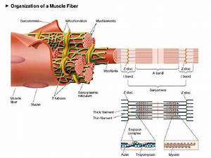 L5 Muscle Structure