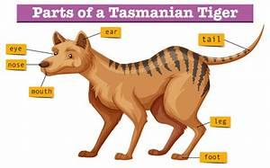 Diagram Showing Parts Of Tasmanian Tiger Vector