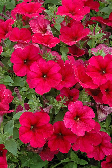 easy wave petunias easy wave berry velour petunia petunia easy wave berry velour in minneapolis st paul twin