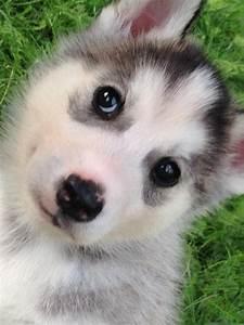 Husky Zu Verkaufen : husky welpen zu verkaufen in m mlingen hunde kaufen und verkaufen ber private kleinanzeigen ~ Orissabook.com Haus und Dekorationen