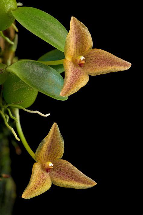 Trias oblonga | Orchids Forum